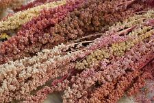 Quinoa Carmen - 50+ seeds - Heirloom - YIELDING RARITY!
