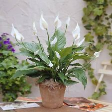 Spathiphyllum Chopin Peace Lily 1 Plant Healthy Strong, Garden House Live Decor