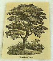 1832 small magazine engraving ~ BRADFRUIT TREE ~ Bread-Fruit
