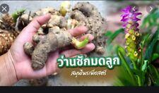 *UNCLE CHAN* 1 rhizome black tumeric Curcuma aeruginosa