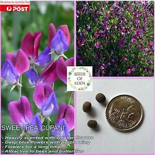 10 SWEET PEA 'CUPANI' SEEDS (Lathyrus odoratus); Ideal fragrant garden flowers