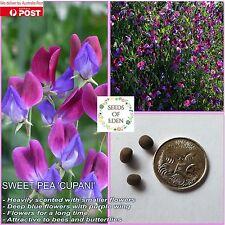10 SWEET PEA 'CUPANI' SEEDS (Lathyrus odoratus); Ideal fragrant garden flowers