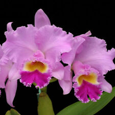 Orchid Cattleya POT Patricia Phelps Lavender