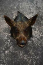 Sku 1624 Wild Boar Taxidermy shoulder Original Tusk