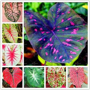 Caladium 100 Pcs Seeds Bonsai Flower Rare 6 Kinds Color Perennia Garden Open Air