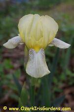 Flavescens (De Candolle 1813) Historic Tall Bearded (Tb) Iris - 12 Rhizomes