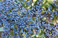 50 BLUE ELDERBERRY Sambucus Caerulea Arizona Elder Tree Shrub Fruit Berry Seeds