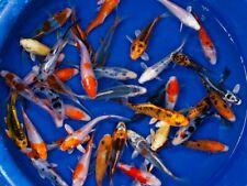 Carpe Koi selezionate 8/10cm colorazioni assortite. Pesci da laghetto, koi pond