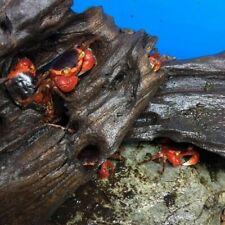 Crabs-Red Apple(Metasesarma Aubryi) x 1/3/5 Freshwater Aquarium/Terrarium(TO073)