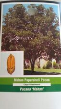 MAHAN PAPERSHELL PECAN TREE Shade Trees Live Healthy Plant Large Pecans Nuts