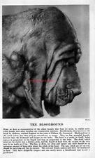 The Bloodhound Dog Head Rare Vintage Art Photo & Breed Description 1931