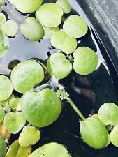 30 Frogbit + 1 Cup Mosquito Fern - Aquarium Pond Plant