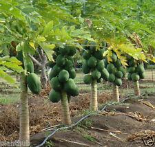 Fruit Seed - PAPAYA - Dwarf Variety Soft /Orange Flesh/ Large -Pack of 50 Seeds