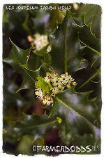 Ilex aquifolium 'English Holly' [Ex. Co. Durham] 26+ SEEDS