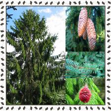 Picea Abies - Norway/European Spruce 15+ viable seeds/samen pack - YourSeedShop