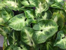 10 Plants Syngonium -Pixie tissue culture raised healthy plan