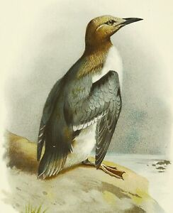 1890 Antique lithograph: GUILLEMOT SEABIRD. Ornithology. 130 years old print.