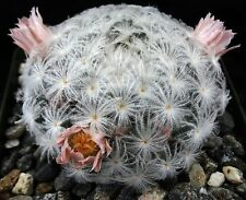 Mammillaria plumosa Cactus covered in soft Dandelion like plumes!