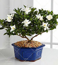Bonsai Gardenia Seeds (Cape Jasmine) - amazing smell Flowers for home birthday