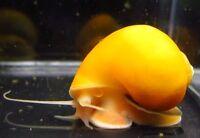 5 Gold Mystery Snail Live Freshwater Aquarium Snails