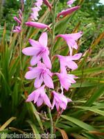 Watsonia Borbonica (pink) 15 Seeds, Fragrant Cape Bugle Lily