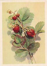 1958 RARE Strawberries by Bushkin Russian Soviet postcard