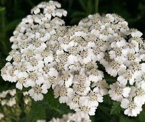 Achillea New Vintage White - 2 litre pot- Good for bees & butterflies