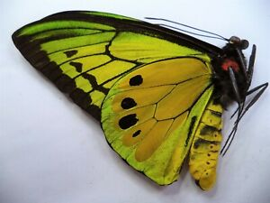 UNMOUNTED BUTTERFLIES/ORNITHOPTERA GOLIATH SUPREMUS MALE