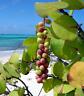 Sea Grape   Coccoloba uvifera   Organic   10 Seeds   (Free US Shipping)