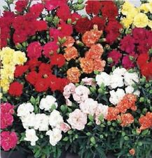 Flower - Carnation - Lillipot Mixed F1 - 12 Seeds