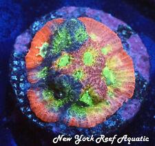 New York Reef Aquatic - 0611 C1 Jf Dayglo Favia Wysiwyg Live Coral
