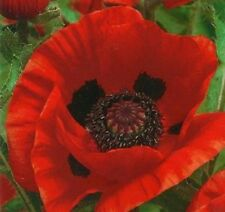 Papaver 'Orientale' ***Special Offer*** x300 (2018) seeds - Hardy Perennial