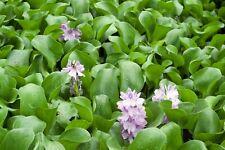 Live Water Hyacinth Aquatic Tropical Marginal/Surface Pond Plant