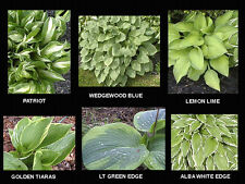 20 Seeds Royal Mix Hosta Seeds -USA GROW