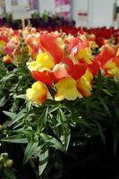 Snapdragon Seeds Snapdragon Snappy Orange And Yellow 50 Seeds