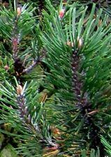 30 Samen Zwerg-Kiefer (Pinus mugo pumilio), Bonsai, kleinbleibend, Zwerglatsche