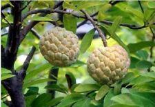 10 Sugar Apple - Annona Squamosa seeds. Fresh fruit seeds from 2017 season.