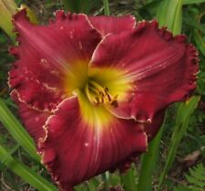 Daylily Plant MYRA WATERS Perennial Hensley-D. Double Fan Red Rose Flower