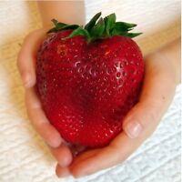 """RIESENERDBEEREN - Die größte Erdbeere der Welt """"Giant"""" - ca. 400 Samen"""