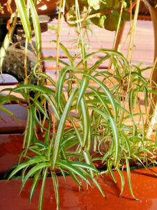 3 Spider Plant VariegatedHouseplant Air purifier pups fresh Rooted cuttings