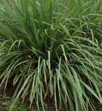 H104 Citronella Ceylon Type x30 seeds Insect Repellent Beneficial Essential Oil