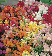 Snapdragon Tom Thumb Seeds Mixed Colours Reliable Plant