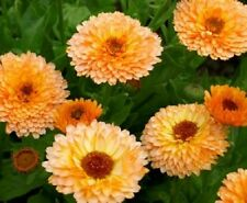 English Marigold 'Pink Surprise' / Calendula officinalis / 150 seeds
