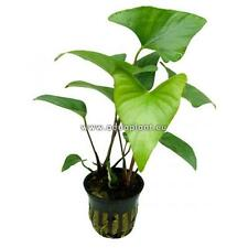 Anubia Gracilis Topf, robuste Wasserpflanze, Aquariumpflanze, Barschfest