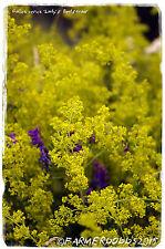 Galium verum 'Lady's Bedstraw' [Ex. Dorset] 1500+ seeds