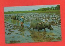 Thaïlande - Rice cultivation with buffaloes   (D5456)