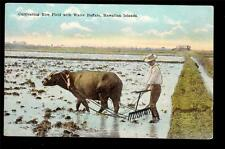 c1930 cultivating Rice Fields with Water Buffalo farming Hawaii postcard