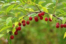 Cherry Prinsepia, Chinese Prinsepia (Prinsepia sinensis) 10 seeds
