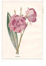 Originale VITTORIANA chromolithograph antica stampa-OLEANDER-C. 1900