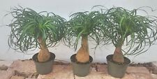 """Pony Tail Palm Tree Beaucarnea Recurvata Growing in a 6"""" Pot House Plant"""